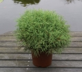 Thuja occ. 'Mr Bowling Ball'
